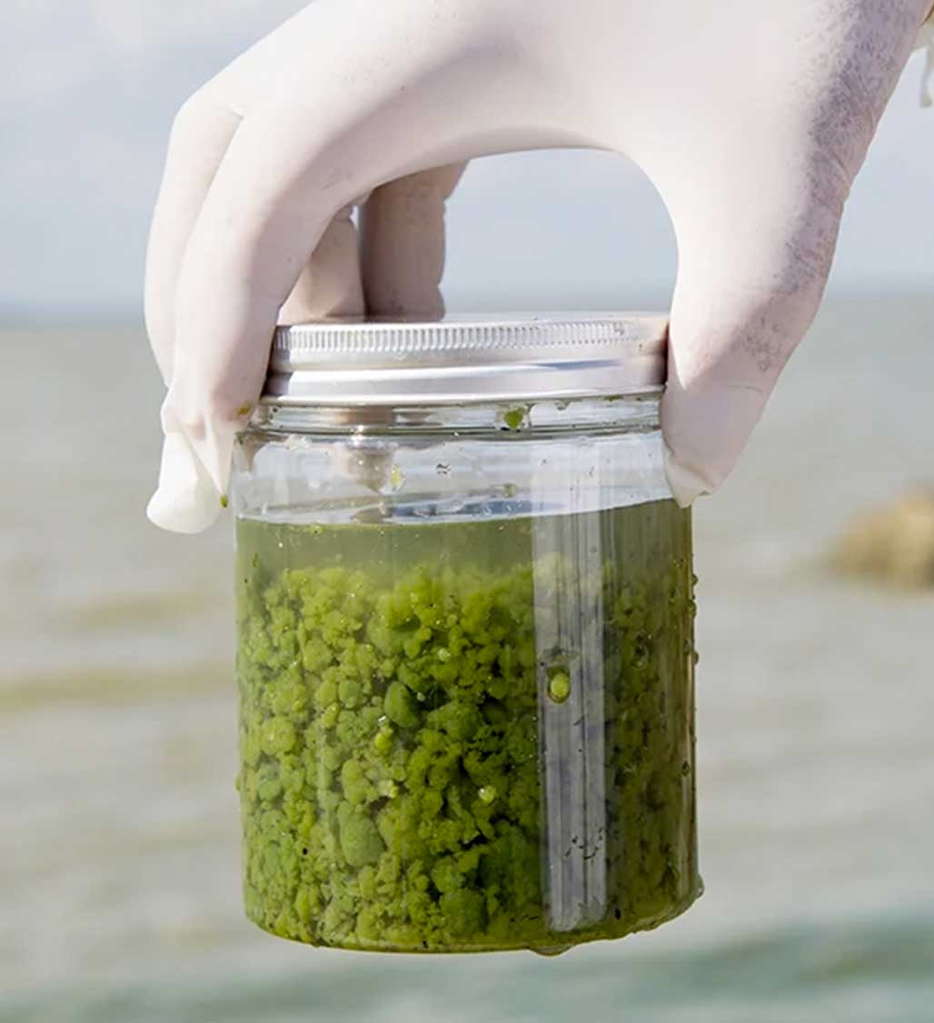 Algae sample