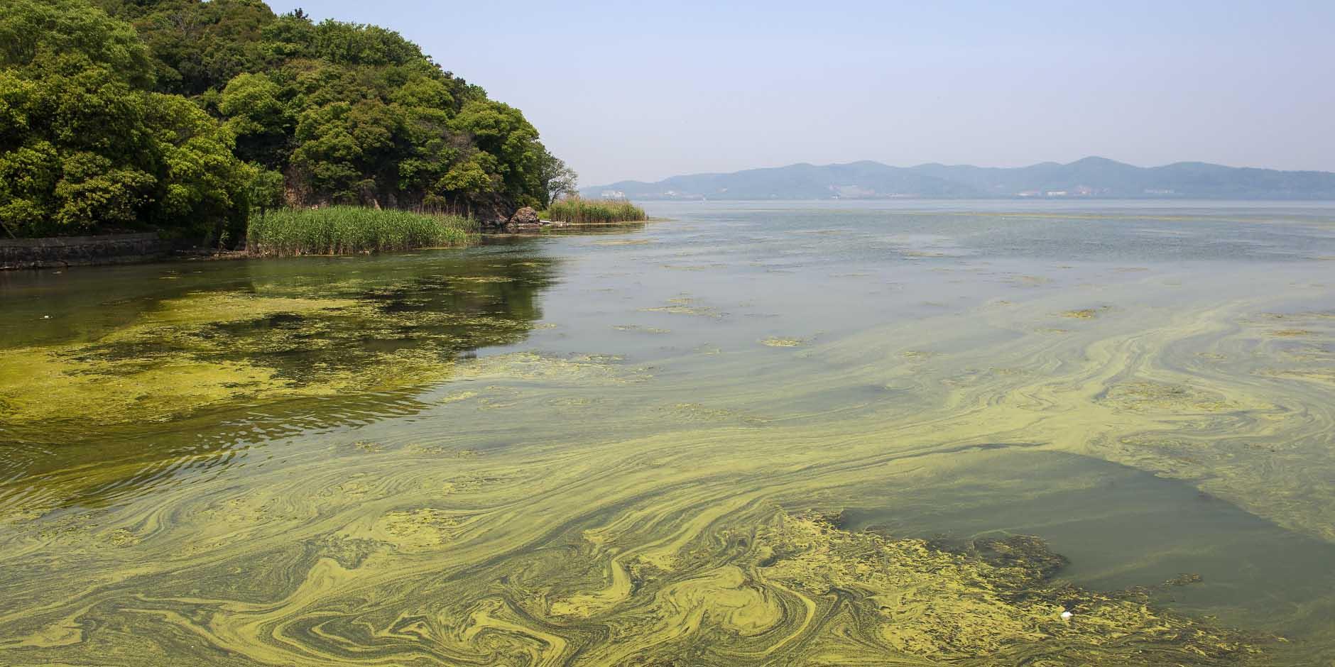 Cyanobacterial blooms